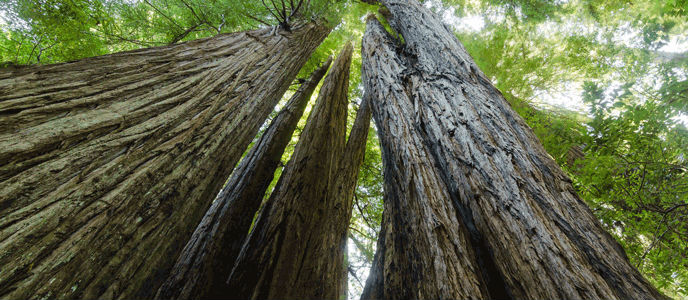 Image taken from the base of tall Redwood trees looking up into the green canopy above.