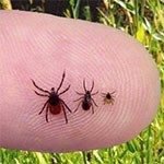 Three different species of ticks.