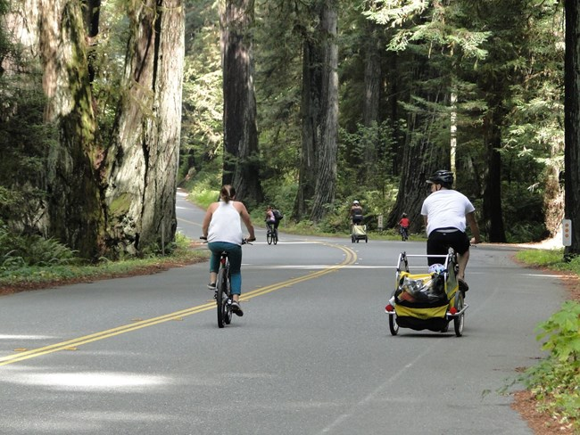 A family rides bikes under redwoods