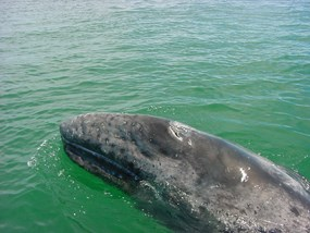 Gray whale calf swimming.