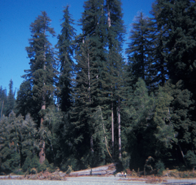 Tall Trees Grove