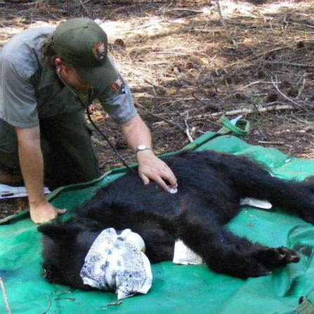 Ranger with black bear
