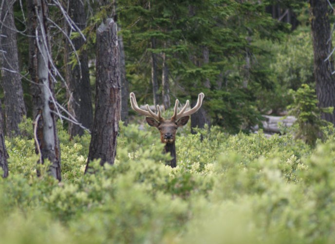 A bull elk sticks his head above the forest undergrowth.