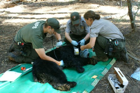 Wildlife Biologists taking data from a tranquilized black bear
