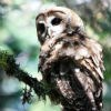 Northern spotted owl looks down from a tree