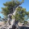 Whitebark pine tree