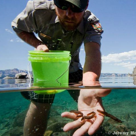 Park Biologist releases newts into lake