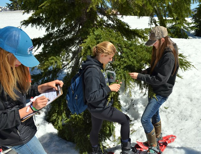 Students monitor new growth of a mountain hemlock.