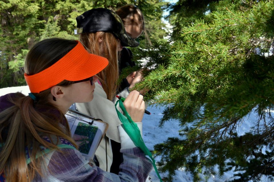 Students observe and record bud growth on old-growth mountain hemlock trees.