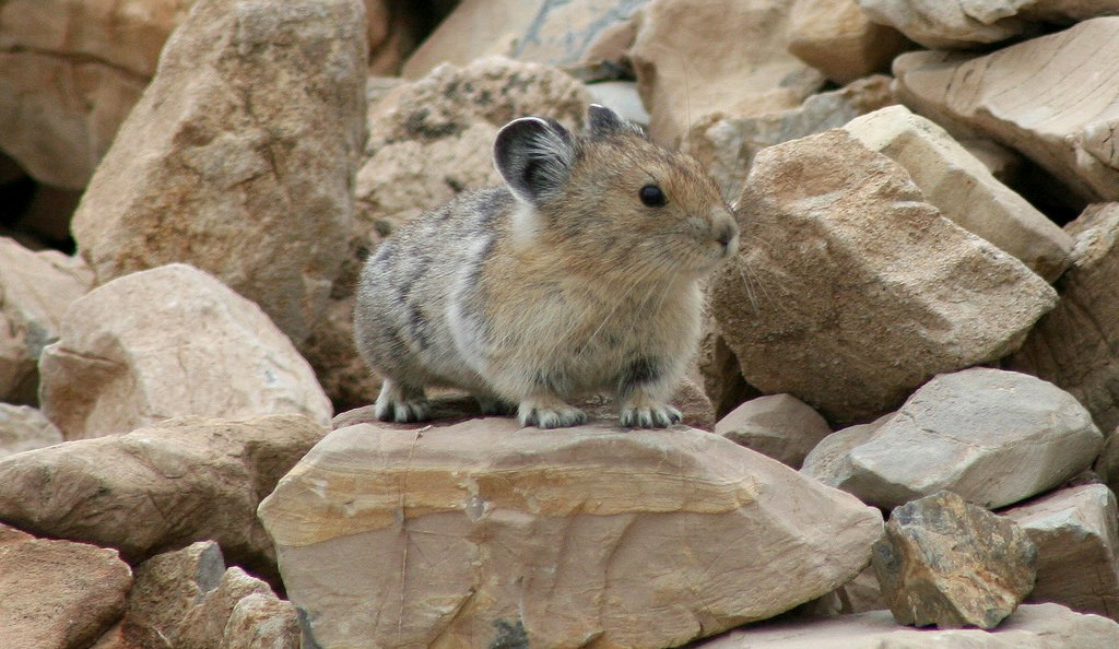 Small furry rodent on and among rocks its own body size