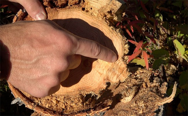 A hand points at abnormal-looking tree rings on a small, cross-section of a tree.