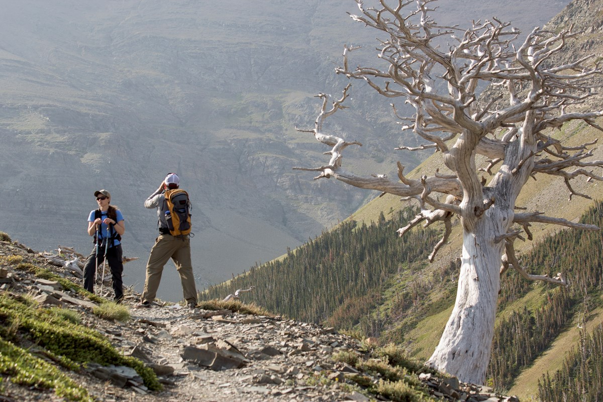 Two hikers stand next to a snarled, dead whitebark pine tree on an alpine trail.