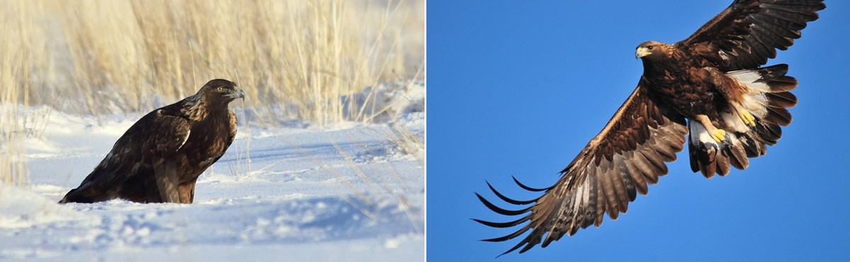 Left image: a large golden eagle site on the snowy ground, surrounded by dead grasses. Right image: a golden eagle soars overhead.