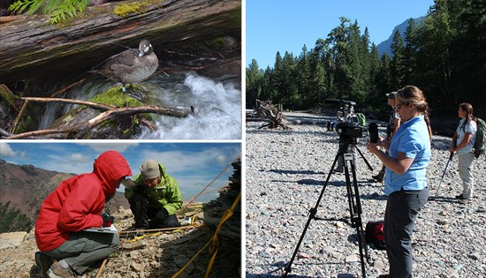 Collage of researchers; harlequin duck stands on rock, staff study plant plots, and videographer films harlequin ducks.