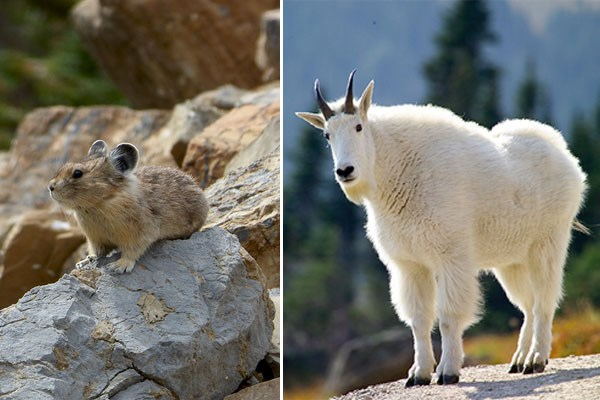 Collage shows a pika sitting on a rock and a mountain goat standing in the sunlight.