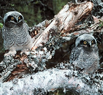 Pair of fluffy owl chicks camouflaged against the log where they perch