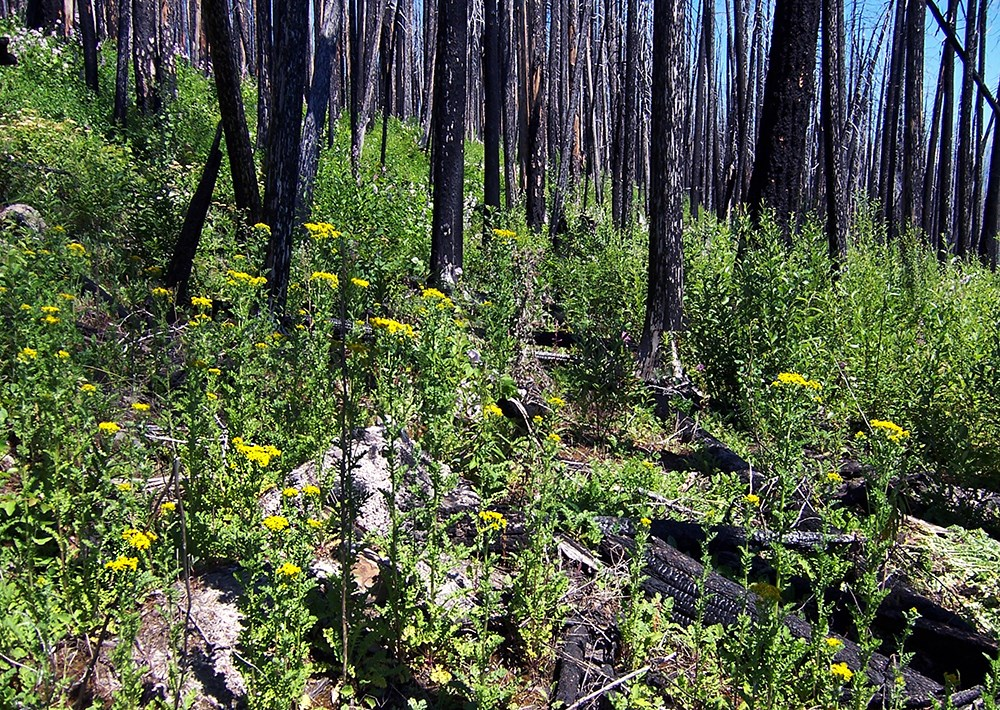 Yellow tansy ragwort flowers blanket the ground among recently burned trees