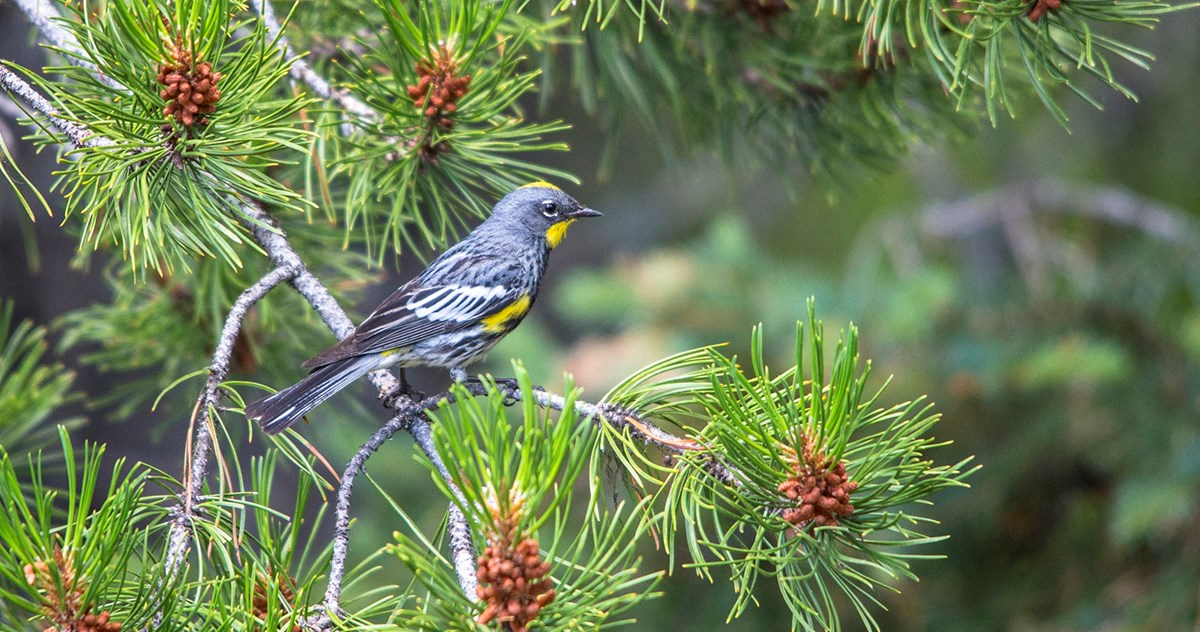 A small, grey bird with yellow on its face, sides, and rump perches on a conifer branch.