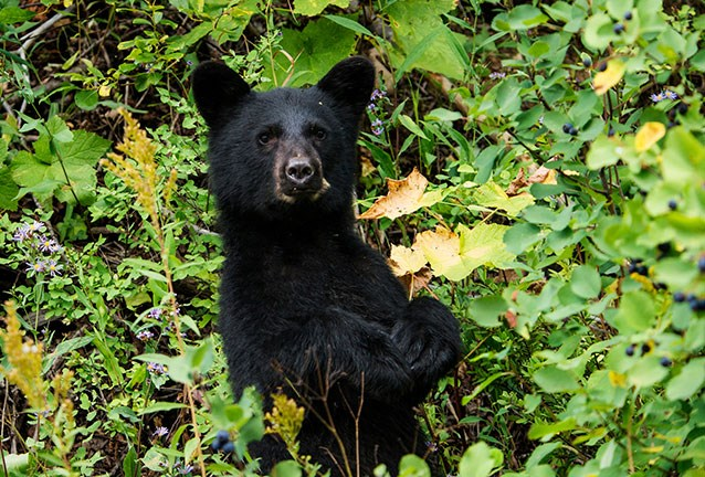 A black bear cub in a berry patch stands and looks at camera.