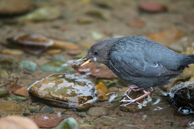 A small, blue-gray bird holds a caddisfly in its beak.