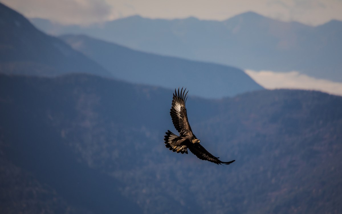 Sunlight bounces off the underside of a golden eagle in flight. Mountaintops fill the background.