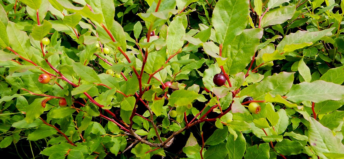 Huckleberry foliage and ripening berries.