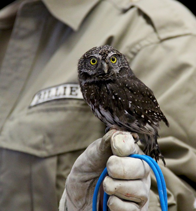 A small, dark brown bird with white spots on back and bright yellow eyes is held by a gloved hand.