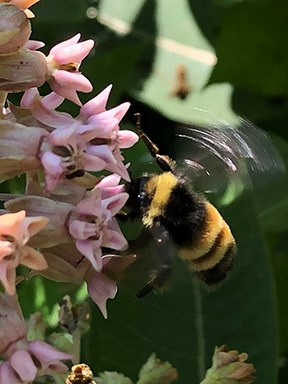 A bumble bee is hovering next to the flowers of a milkweed plant.