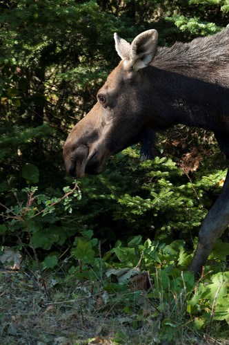 Close-up view of the head and front leg of a female moose as she walks through the vegetation