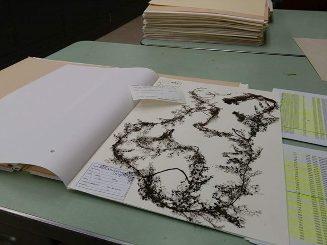 A herbarium sheet featuring a pressed bladderwort sample