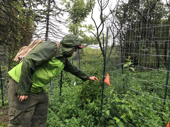 A man bends down and looks through a wire fence to examine a forest mesocosm study plot.