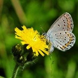 Karner blue butterfly sips nectar from a yellow wildflower.