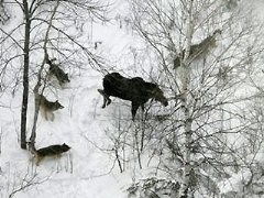 Areal view of wolves surrounding a moose
