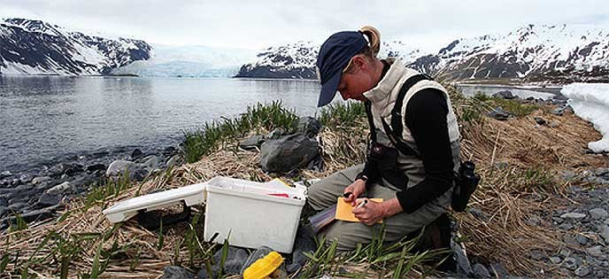 A graduate student conducts shorebird research at Kenai Fjords National Park, Alaska.