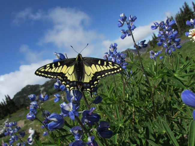 An Anise Swallowtail butterfly rests on a Lupine.
