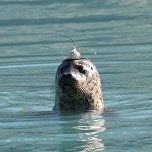 harbor seal in water