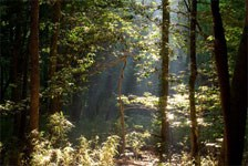 Thicketed forest canopy openings at Congaree National Park provide ideal Bachman's warbler habitat.