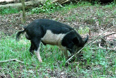 Feral hogs are an invasive species that are negatively impacting the floodplain forest ecosystem at Congaree National Park.