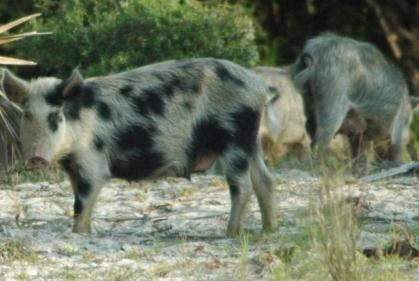 A family of feral hogs