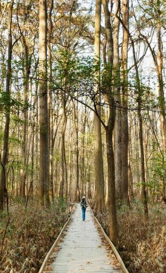 A visitor explores the floodplain forest by boardwalk at Congaree