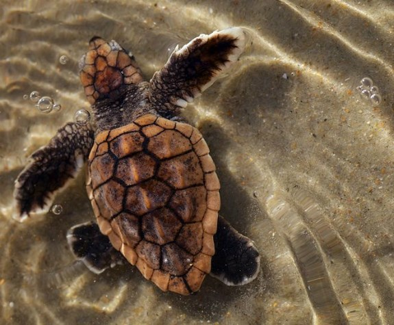 A baby sea turtle swims in the shallows at Cape Lookout