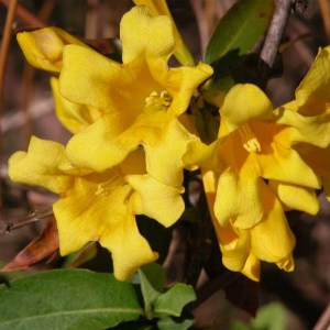 Yellow jessamine blooming