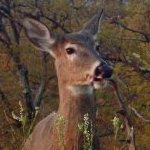 White Tailed Deer Management Plan