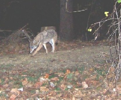 Coyote in Rock Creek Park