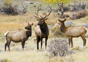 Elk bull and cows