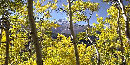 a photo of aspens glowing with autumn gold,a photo of aspens glowing with autumn gold