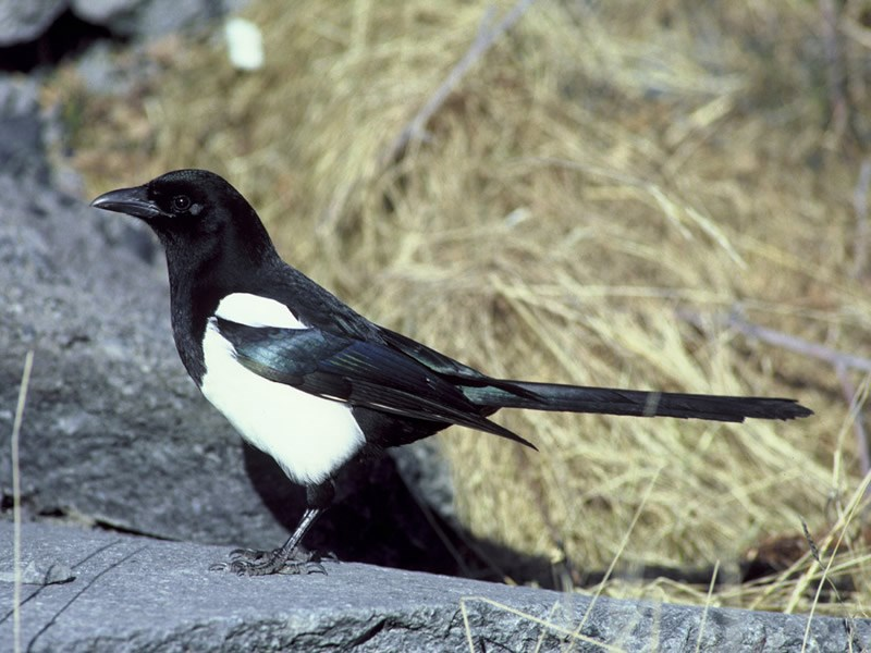 a photo of a black-billed magpie