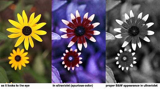 a photo of black eyed susans