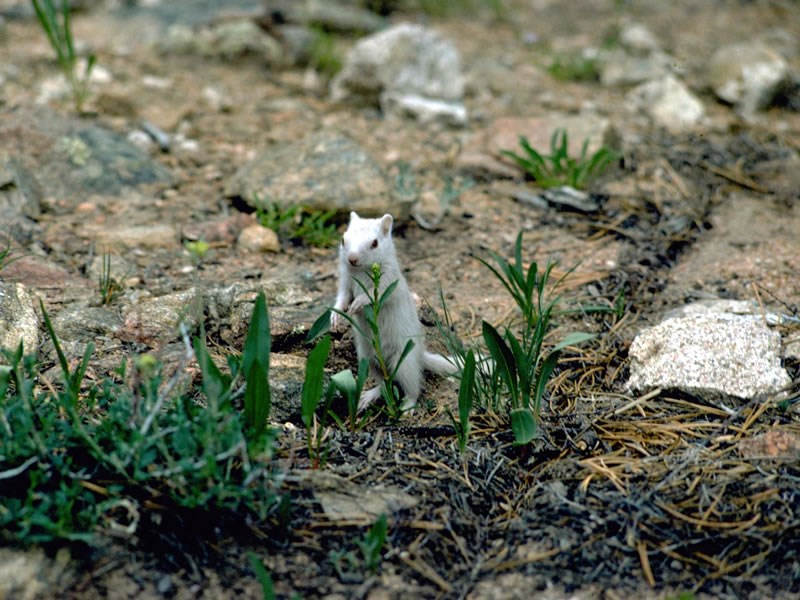 a photo of an albino ground squirrel