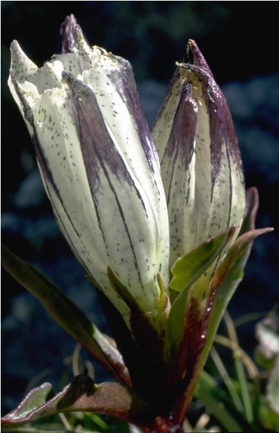 a photo of arctic gentian